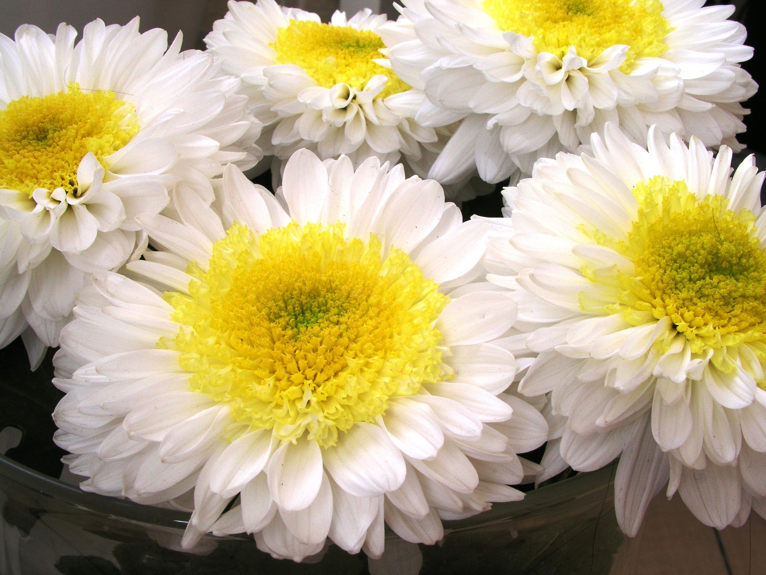 Das Foto zeigt mehrere Blumen, die innen gelb und außen weiß sind.