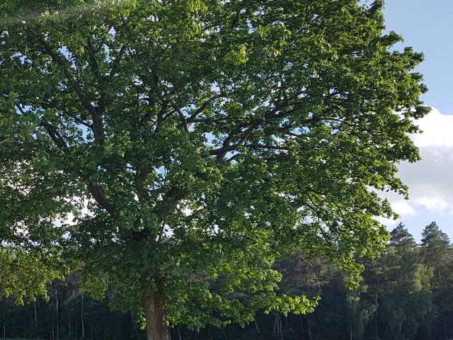 Das Foto zeigt einen großen grünen Baum, durch den Himmel hindurch schimmert.
