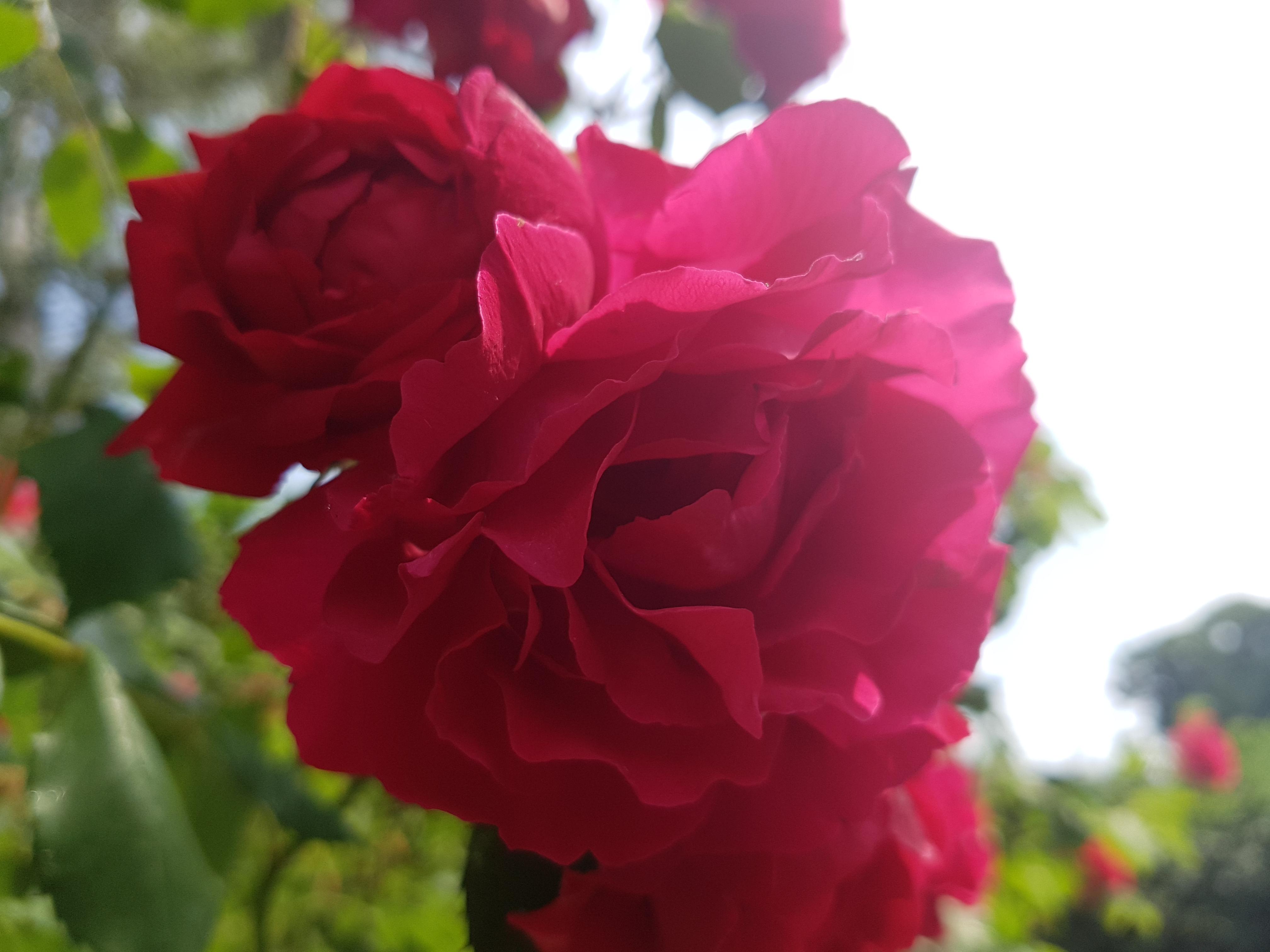 Das Foto zeigt eine rote Blume, im Hintergrund sind ein Teil des Himmels sowie Grün und weitere Pflanzen zu erkennen.