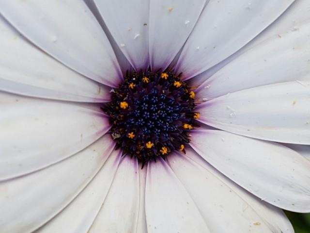 Das Foto zeigt Blüte, innen braun außen mit weißen Blütenblättern.