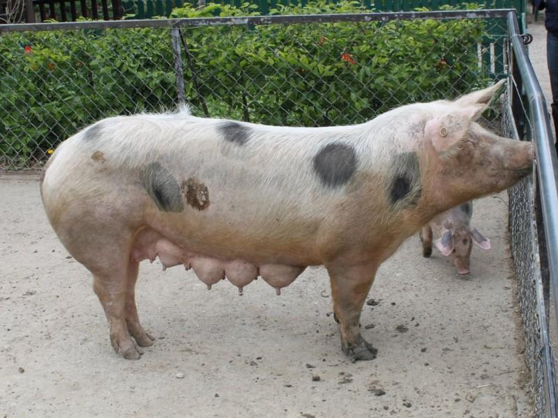 Auf dem Foto ist ein großes Schwein zu sehen, rechts unter dem Kopf sieht man ein Junges.