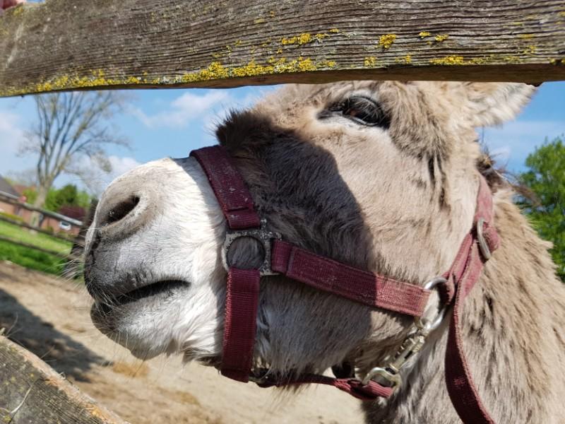 Auf dem Foto ist ein Esel hinter einem Holzlattenzaun zu sehen.