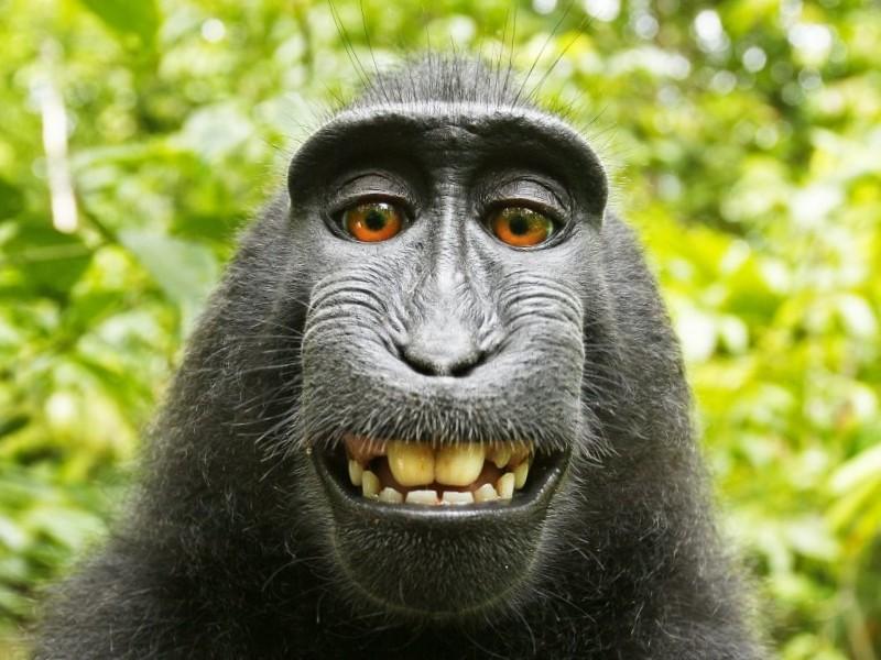 Das Foto zeigt einen Affen, der sich selbst fotografiert hat.