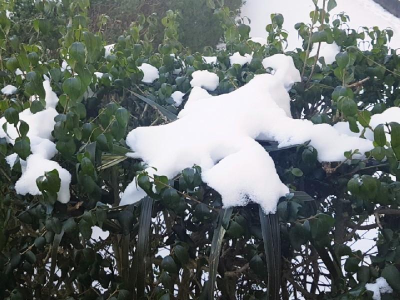 Das Foto zeigt eine Hecke mit Schnee darauf.
