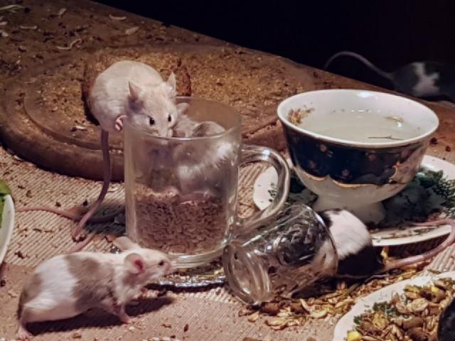 Das Foto zeigt mehrere Mäuse, die auf eine Tasse und darum herum Nahrung suchen.