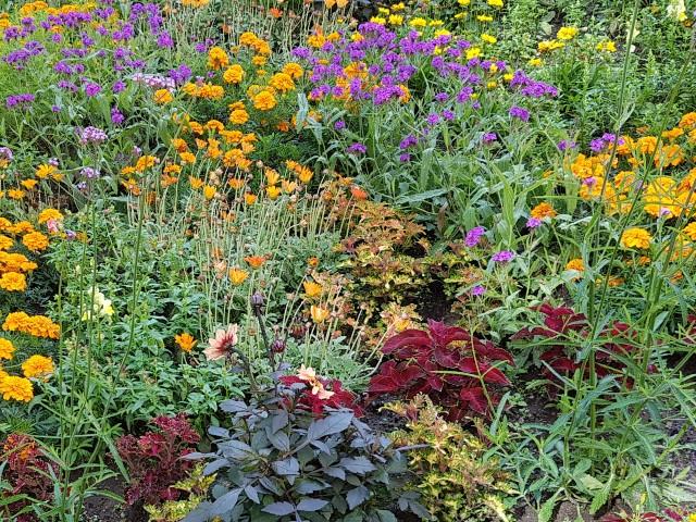 Auf dem Foto ist ein Blumenbeet mit zahlreichen Blumen zu sehen, hauptsächlich gelb, im Vordergrund lila und zwischendrin grün.